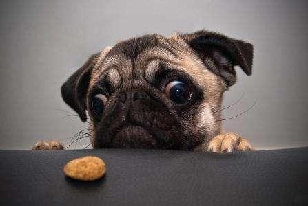巴哥犬总是挑食不吃狗粮?是你对它太宠爱,别再任性了!