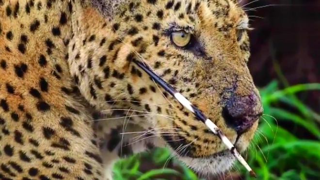 蟒蛇紧紧缠住狮子,豹子疯狂捕杀豪猪,老虎迅猛攻击鳄鱼!
