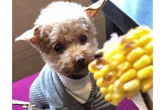 主人吃玉米,泰迪看了不停吧唧嘴,狗:吃点空气解解馋