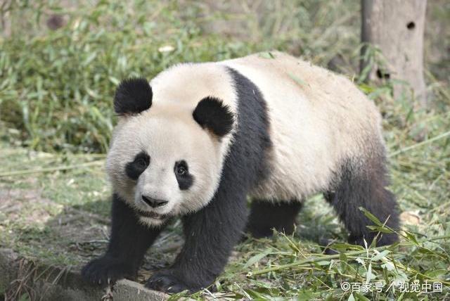 十个冷知识!大熊猫可以吃肉么?