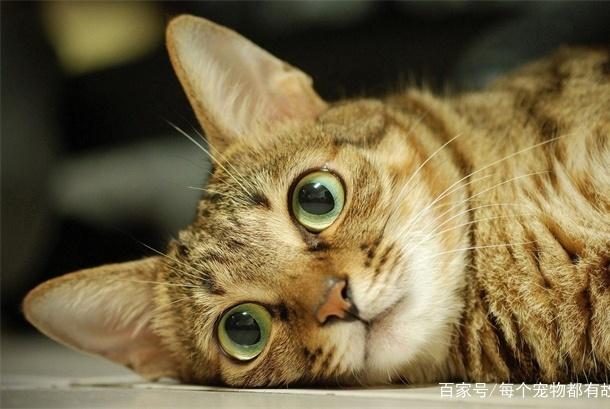 猫咪发情不尴尬,处理不好才真的尴尬,绝育只是办法之一