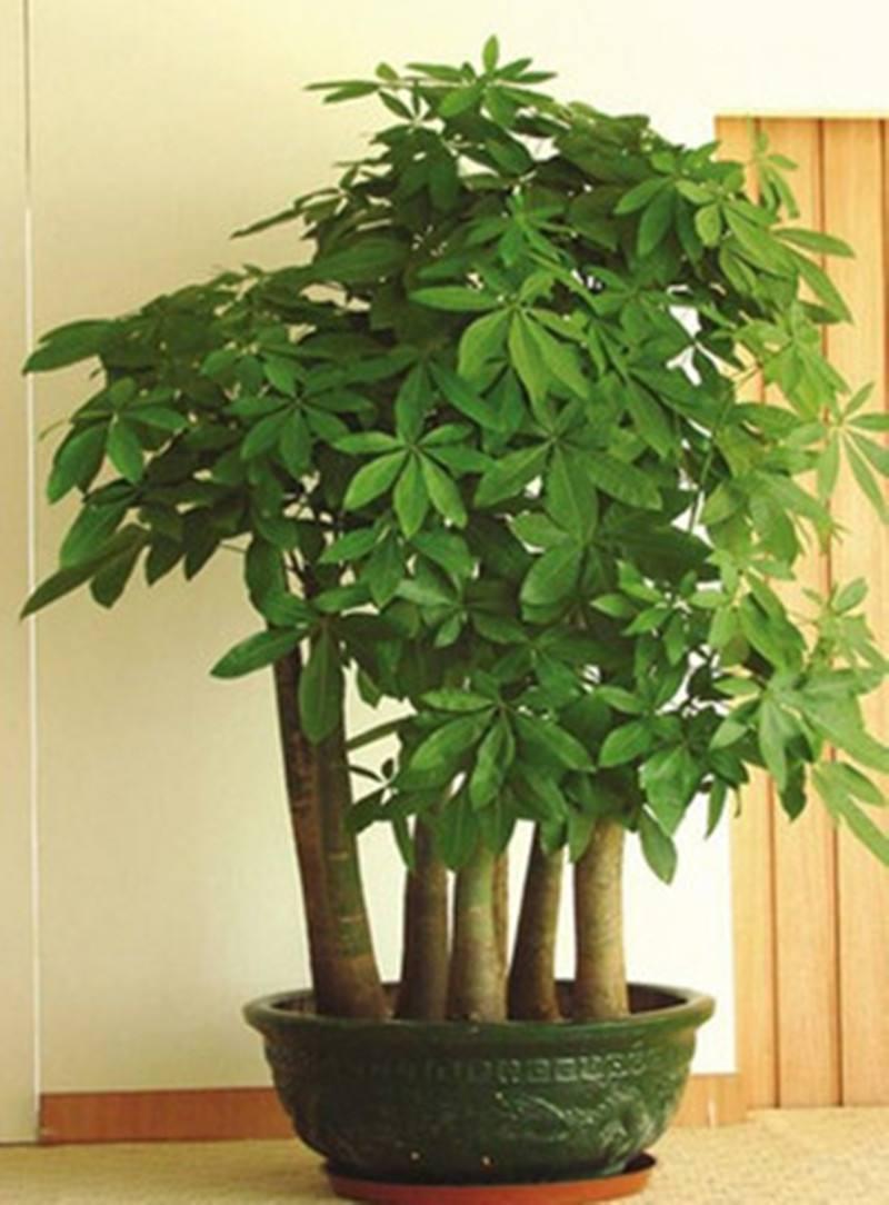 能招财,旺人,还能有利于家居风水,很多花友都在家里的客厅摆放发财树
