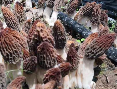 它们的结构和盘菌相似,上部分呈褶皱网状,像羊肚,因而得名羊肚菌.