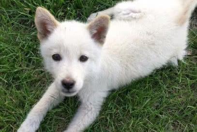 田园犬被领养,10天后紧张的坐在救助站门口:嗨 我被退回来了