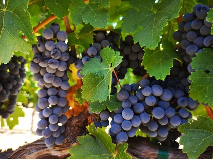 一招识别葡萄酒的葡萄品种