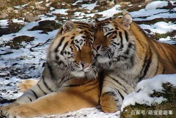 世界上最大的东北虎有多大,最大的东北虎记录你肯定不知道