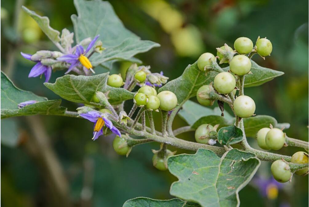 龙葵的成份有哪些?能用于治疗癌症吗?