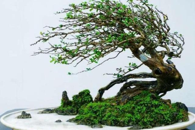 大师专栏I 刘传刚博兰盆景系列之三——《树石盆景篇》