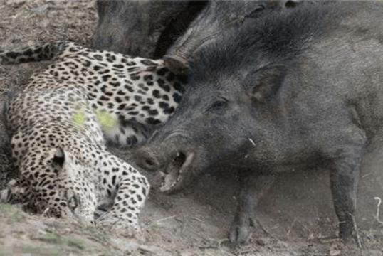 都说野猪很厉害,如果野猪长到1吨重,那老虎还打得过野猪吗?