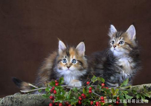 可爱还活泼的猫猫,眼睛水汪汪,简直都是太有爱了