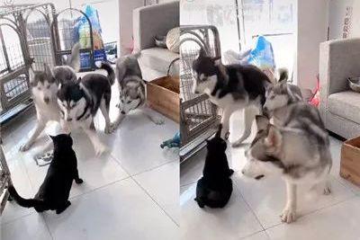 三只二哈联合挑衅黑猫惨遭角落面壁,原来狗多势众不过如此!