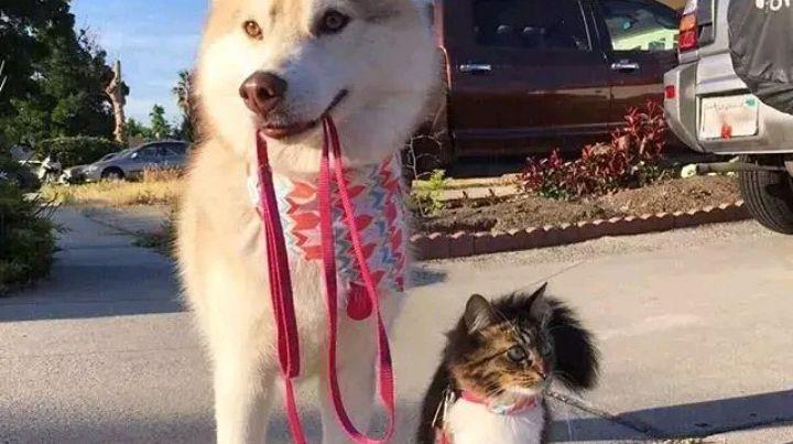 猫狗能和平相处吗?一只被哈士奇带大的喵星人!网友:不敢相信