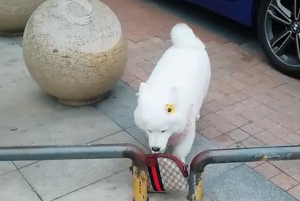 狗狗帮主人拿包,却被石墩卡住,网友猜测:难道这是萨摩基?