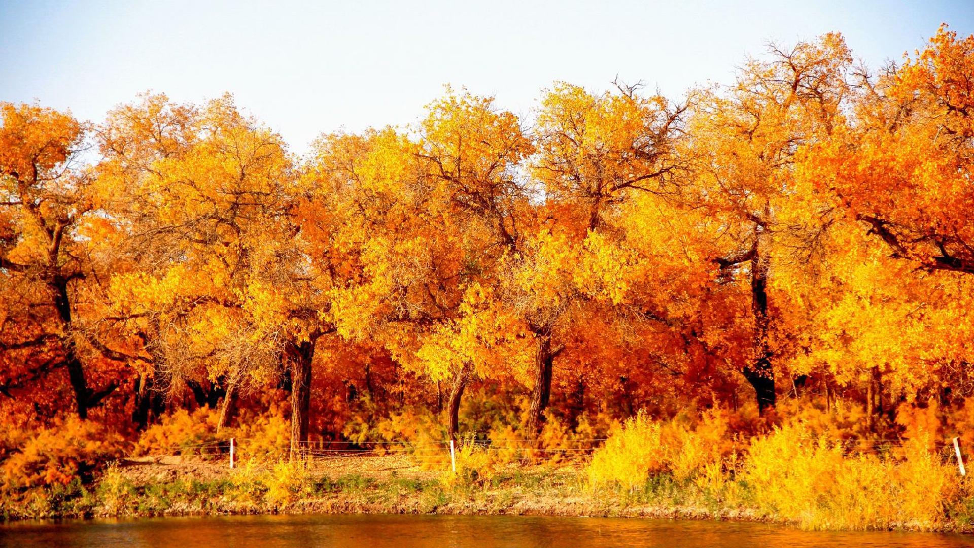 额济纳旗的胡杨黄得最亮丽,高清壁纸,风景电脑高清壁纸