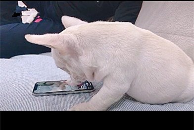 小法斗玩手机刷抖音,主人:你别划走,我还没看完呢!法斗:快看