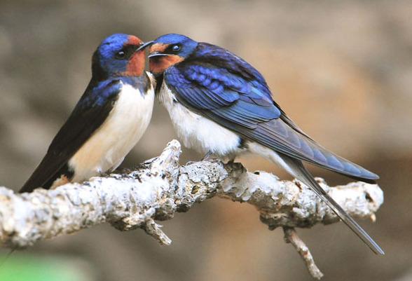 为什么燕子的数量急剧减少?因为它们面临着和人们一样的问题