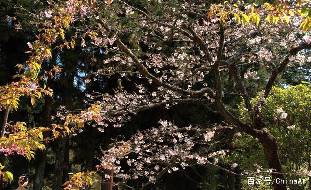 2019年最新阿里山花季时间、赏樱路线、阿里山景观民宿推荐 推荐 第5张