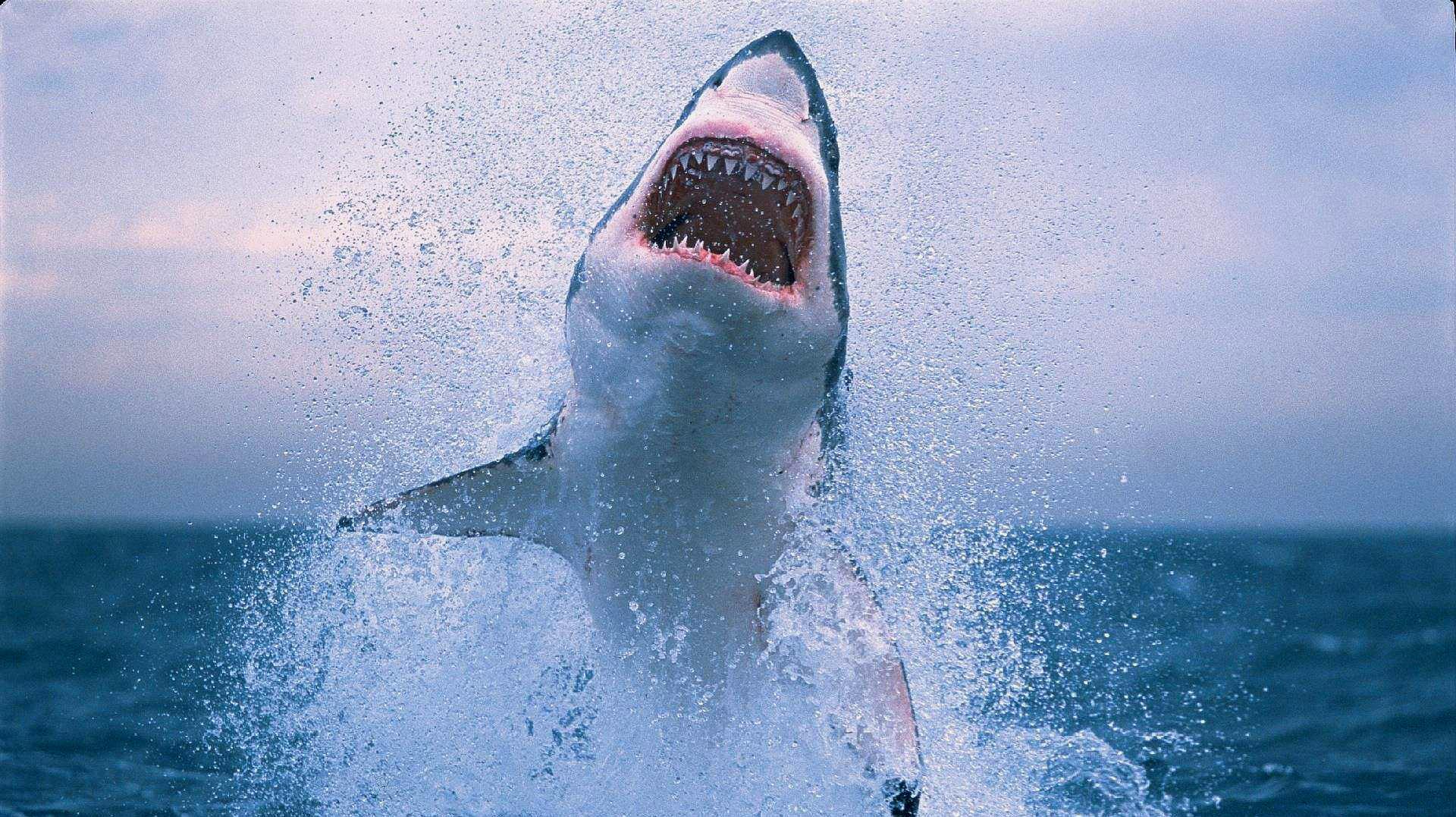 世界上鲨鱼最多的地方:浅滩就有百多条,竟还有人敢下水!