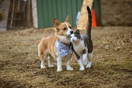 柯基去散步,没想到猫咪一看到柯基,瞬间就被它的颜值迷住了!