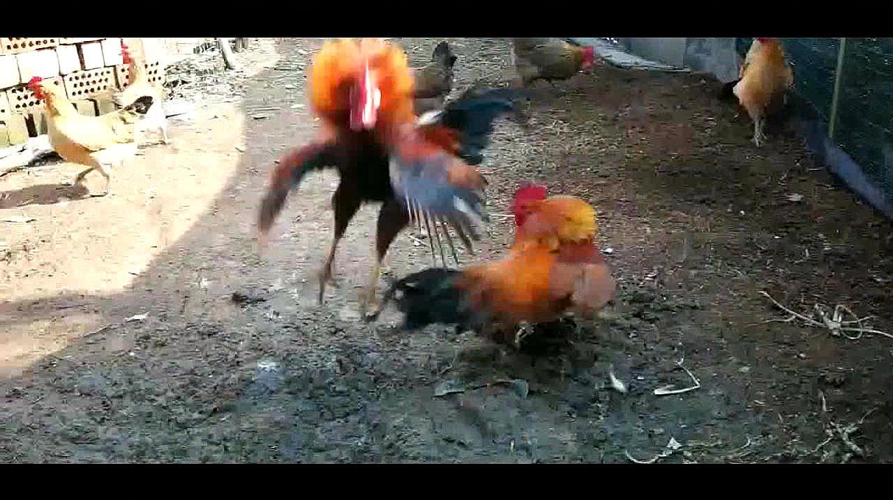 斗鸡争雄:花羽对战黄毛,花羽发挥失常,母鸡一旁看着干着急