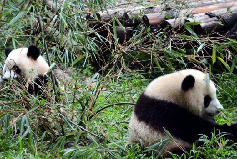 """各个国家的""""大熊猫"""",造型千奇百怪,其中印度和菲律宾最搞怪"""