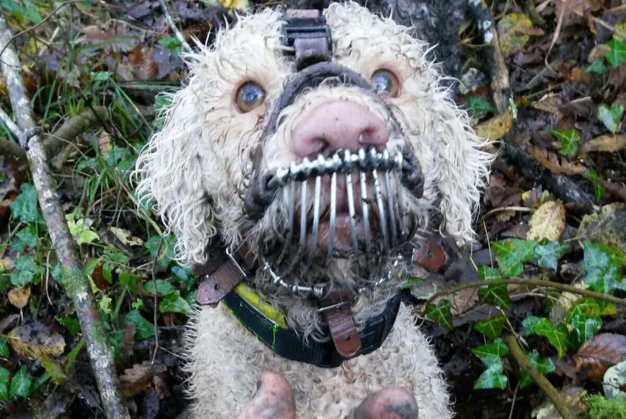 狗狗嘴套金属口罩的样子可怜极了,但没想到网友却为主人做法点赞