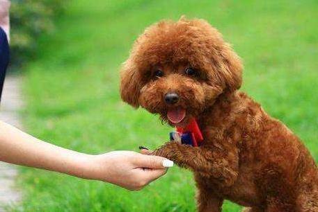 训练泰迪犬时,这些禁忌不能犯!