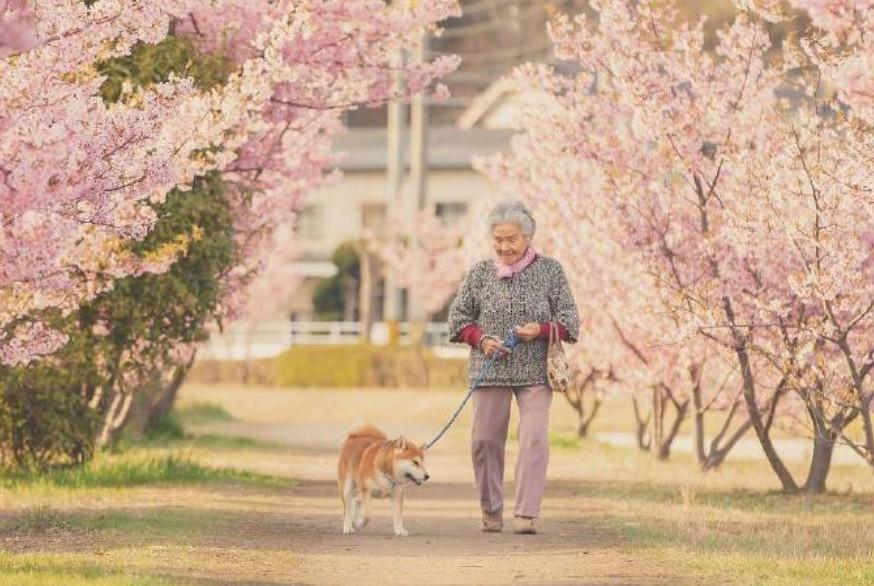 老奶奶带柴犬一起去看樱花,画面好温馨,网友:暖哭