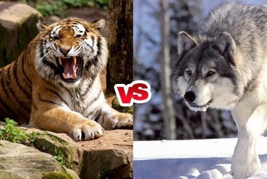 如果一头比虎略大的狼遇到了成年老虎,谁会赢?理性分析此幻想