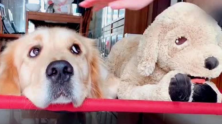 主人当着金毛的面宠幸一只玩具狗,然后就悲剧了