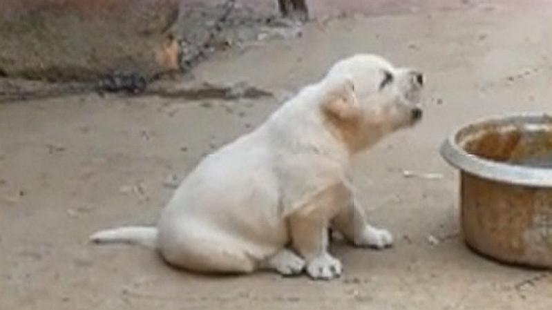 一只被公鸡带跑偏了的小奶狗,学得太快了