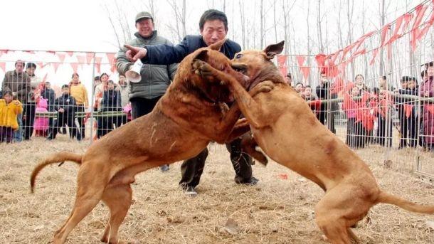 山西斗狗:20元一场,人在笑,狗在叫