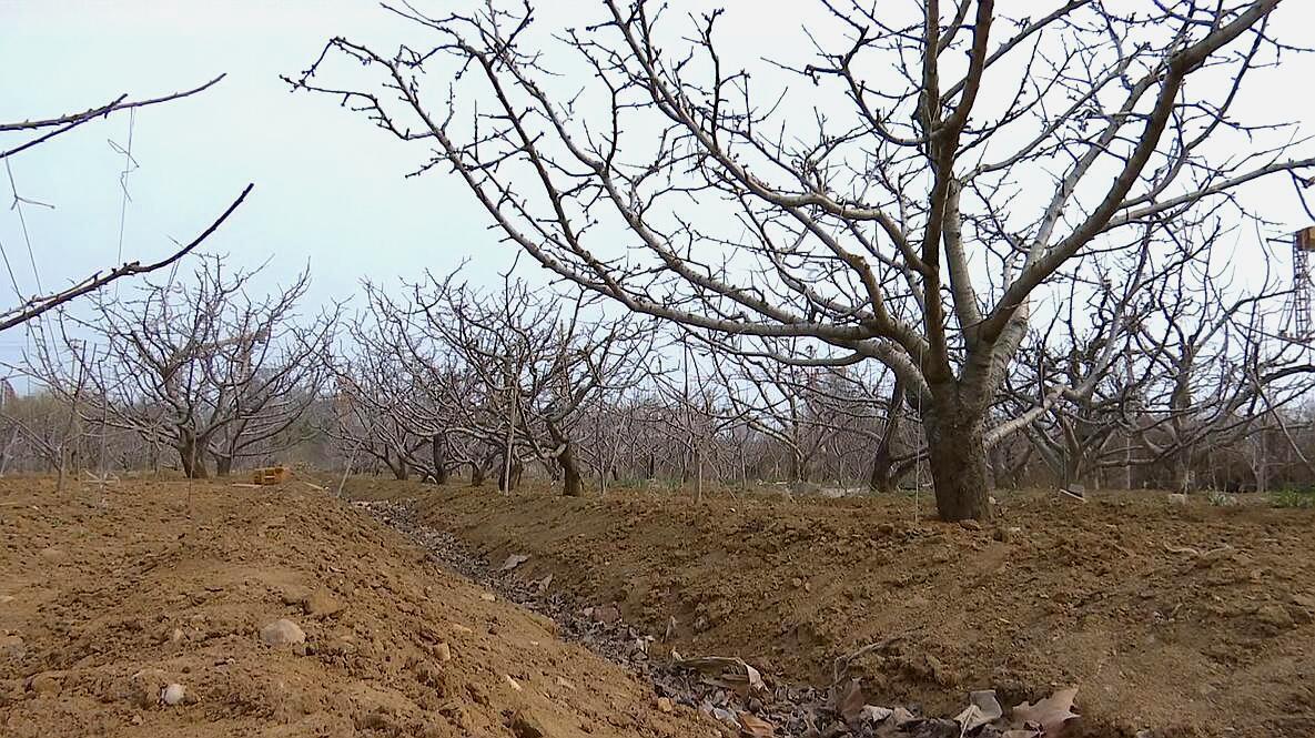 3.23大樱桃春季的地下管理,您知道吗?