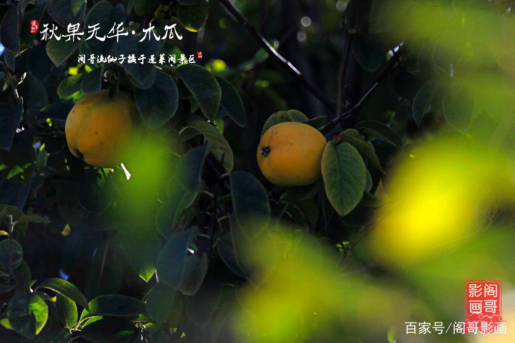 蓬莱阁备倭都司府院内有几株木瓜树,瓜果丰硕,时有游客惊呼为梨,工作