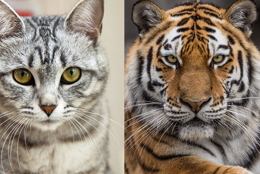 如果家猫体型和老虎一样大,它会和老虎一样危险?理性分析其因素