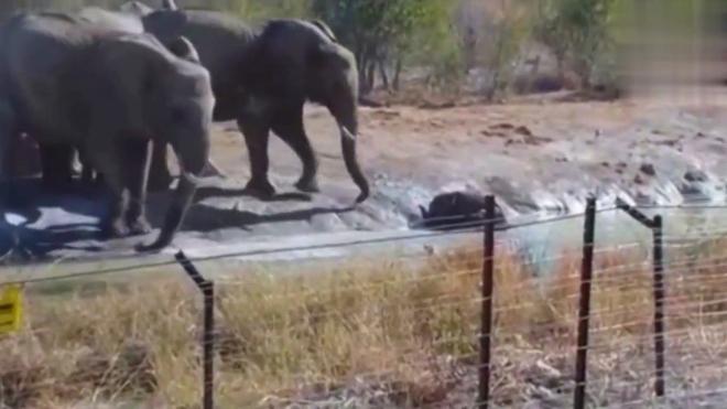 动物世界:一群大象救小象
