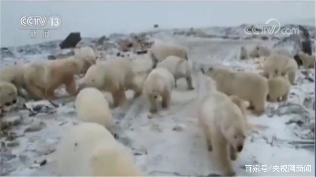 """50多头北极熊""""探视""""俄罗斯居民区 当地直接进入紧急状态"""