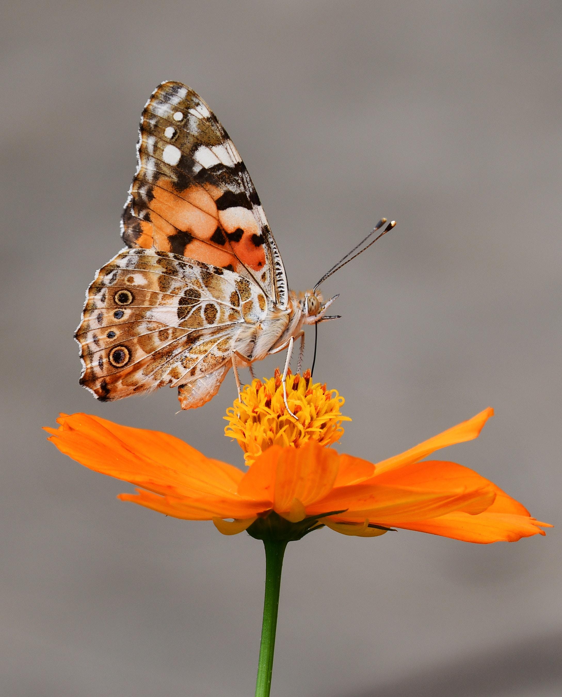 """蝶,通称为""""蝴蝶,节肢动物门,昆虫纲,鳞翅目,锤角亚目动物的统称."""