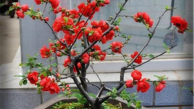 人家的海棠花竟是这样做才开花的,不要只羡慕自己也可以