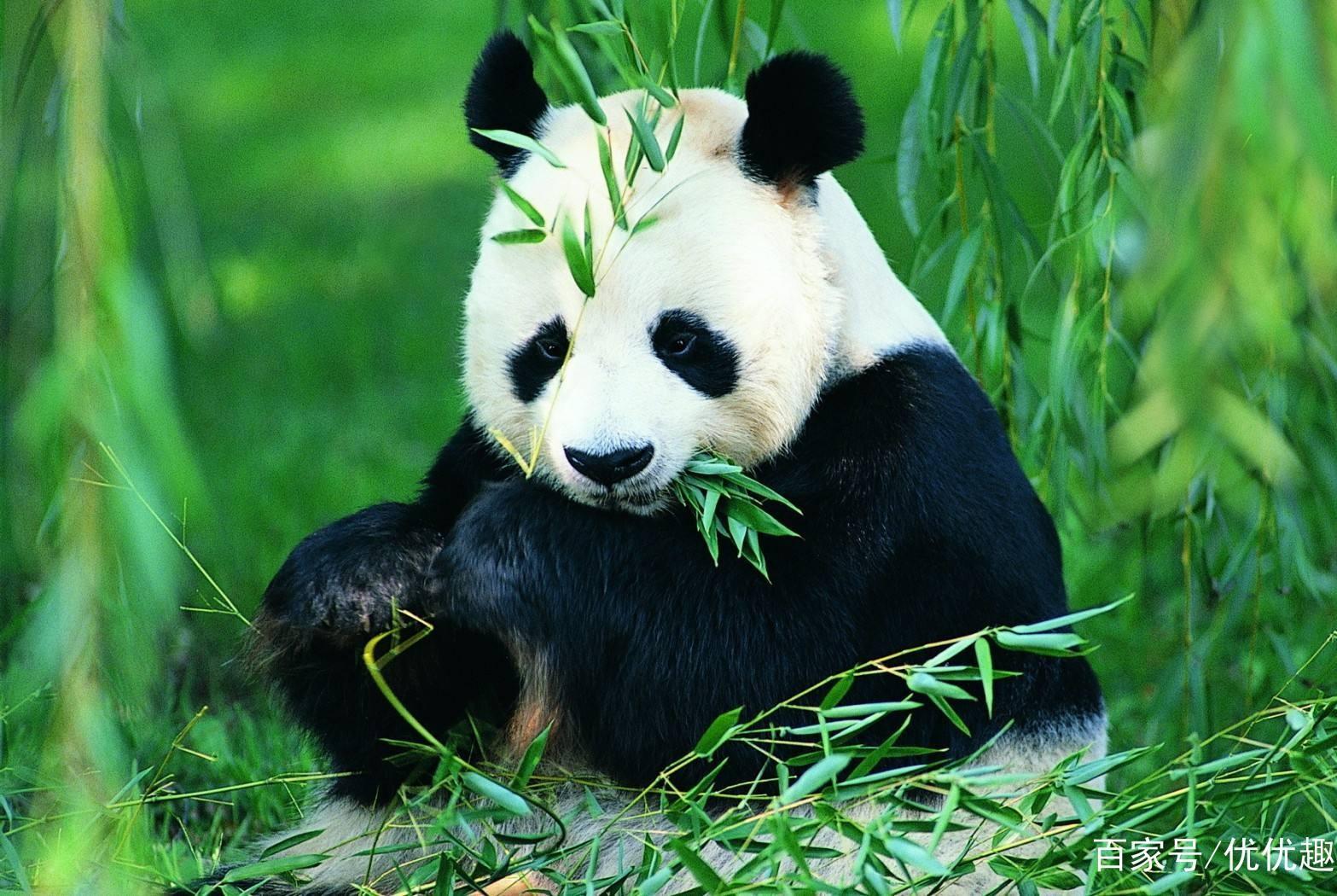 趣味测试:下面哪个熊猫最可爱?测你的情商会不会是你的硬伤