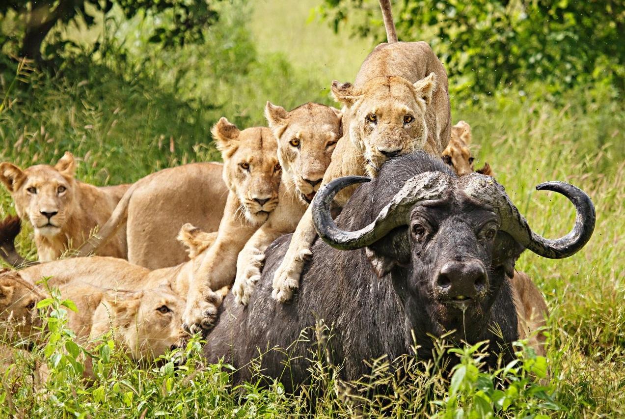 """为何狮群中的雄狮经常会""""突然消失""""?它们干什么去了?"""