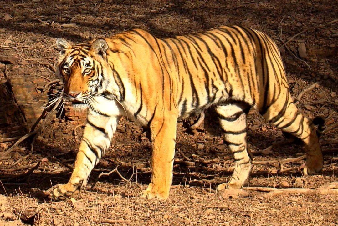 为什么越冷的地方哺乳动物体型越大,昆虫和爬行动物体型却越小?