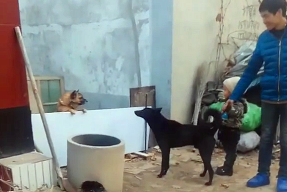 邻家黄狗冲着儿子叫嚣,自家黑狗挺身而出,黑狗:小主人我保护你
