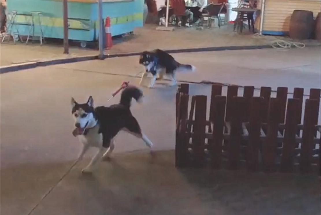 主人遛狗,把两只二哈拴在同一条绳的两端,网友:以二制二……