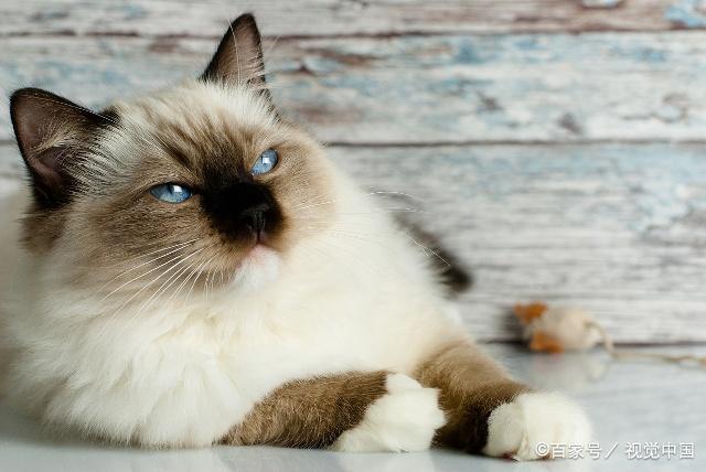 除了一双美丽的眼睛,布偶猫也拥有着令人羡慕的发毛