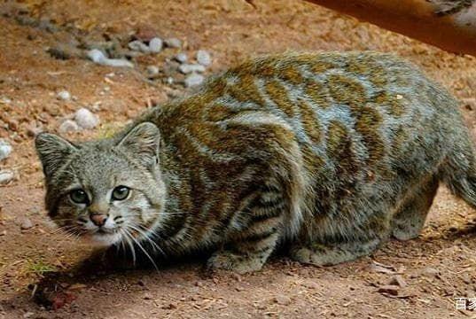 没有亚种的两种猫科动物:一个南美洲最濒危,一个全世界最濒危