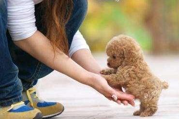 害怕泰迪犬离世,这些是延长它寿命的法宝,学习了!