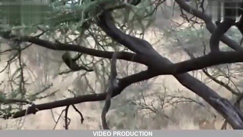 母狮爬树猎食狒狒幼崽,狒狒母亲无法抗衡只得任其咬死