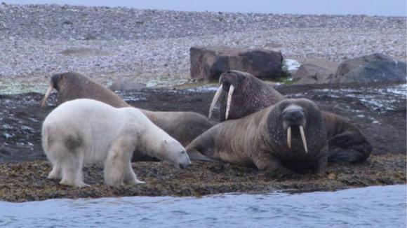 打开好看大餐,无流量省巫师03:20北极熊等待海象回归,终于要开章鱼老是2视频广告被砸死图片