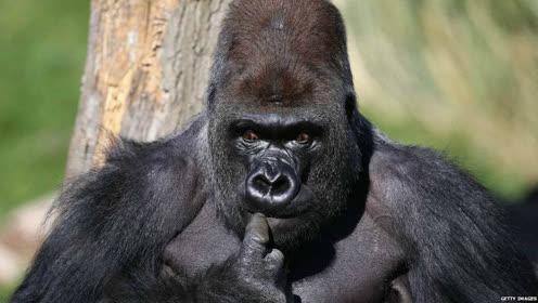 500斤银背大猩猩,纵横动物界30年,面对狮子棕熊都有一战